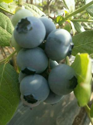 辽宁省丹东市凤城市北陆蓝莓 12 - 14mm以上 鲜果