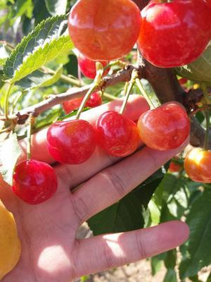 这是一张关于美早樱桃 15-20mm 12-15g 的产品图片