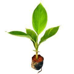 这是一张关于中蕉9号香蕉苗  红香蕉的产品图片