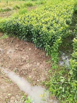 沙糖桔苗 嫁接苗 0.35~0.5米
