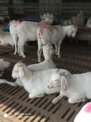 这是一张关于白山羊 30-50斤 的产品图片