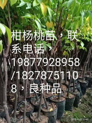 这是一张关于四季红杨桃苗 的产品图片