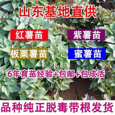 这是一张关于紫薯苗  15~25cm 红薯苗 烟暑25 番薯苗的产品图片