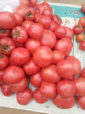 山东省烟台市海阳市粉钻西红柿 精品 弧二以上 硬粉