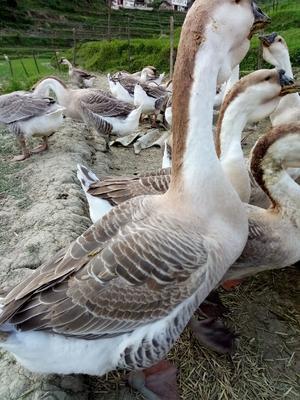 这是一张关于灰鹅 10-12斤 统货 半圈养半散养 的产品图片