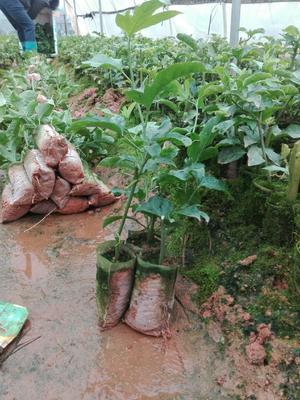这是一张关于台农一号百香果苗 的产品图片