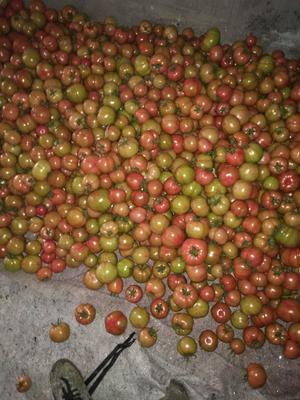 山东省烟台市莱阳市普罗旺斯番茄 通货 弧二以上 硬粉