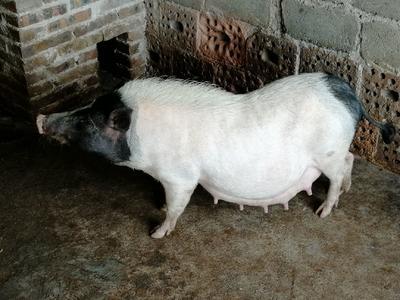 这是一张关于巴马香猪 40-60斤 的产品图片