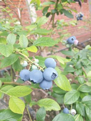 山东省青岛市黄岛区绿宝石蓝莓 15mm以上 鲜果