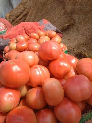山东省临沂市郯城县大红西红柿 精品 弧二以上 软粉