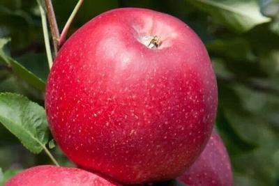 这是一张关于冰糖心苹果苗 1~1.5米 的产品图片