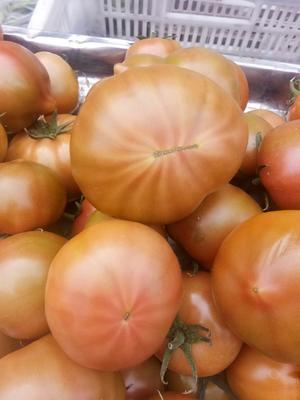 山东省烟台市海阳市水果西红柿 精品 弧二以上 硬黄