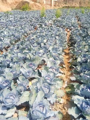 这是一张关于紫甘蓝 3.0~3.5斤 的产品图片
