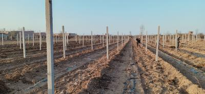 这是一张关于阳光玫瑰 1-1.5斤 5%以下 1次果 的产品图片