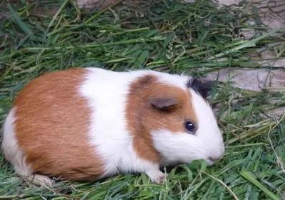 这是一张关于荷兰猪 的产品图片