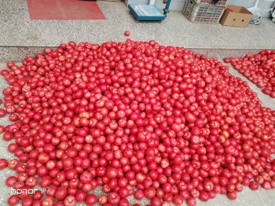 山西省运城市新绛县硬粉番茄 通货 弧三以上 硬粉