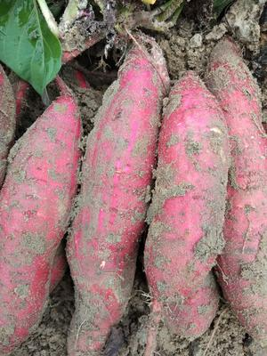 这是一张关于沙地红薯 2两以下 红皮 的产品图片
