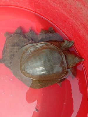 这是一张关于野生甲鱼 的产品图片