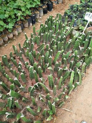 这是一张关于四季红火龙果苗 的产品图片