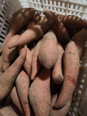 山东省德州市夏津县烟薯25 3两~6两 红皮