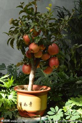 这是一张关于矮化红富士苹果苗 0.5米以下 的产品图片
