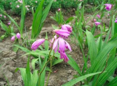 这是一张关于紫花白芨苗 的产品图片