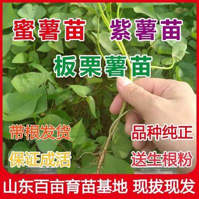 这是一张关于烟薯25号红薯苗  15~25cm 紫薯苗  番薯苗  地瓜苗的产品图片