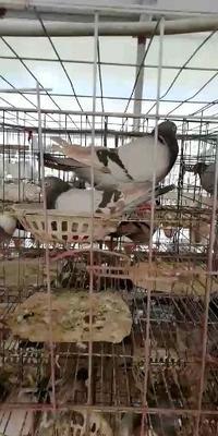 这是一张关于美国落地王鸽 500-600克 的产品图片