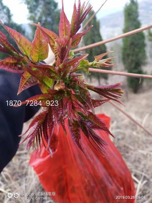 香椿种子  ≥90% 纯野生红油香椿种子
