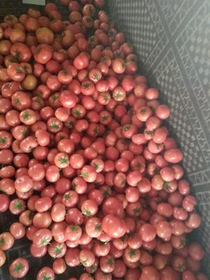 辽宁省朝阳市北票市硬粉番茄 通货 弧三以上 硬粉