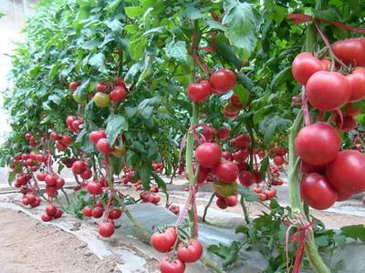 湖北省襄阳市南漳县大红西红柿 精品 弧二以上 硬粉