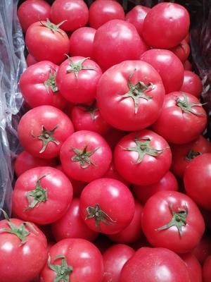 山西省太原市杏花岭区硬粉番茄 通货 弧二以上 硬粉