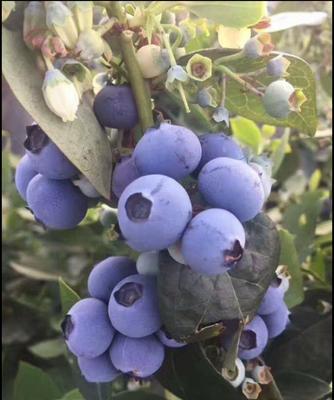 广东省广州市天河区北陆蓝莓 12 - 14mm以上 鲜果