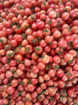山东省潍坊市寿光市春桃西红柿 精品 弧二以上 硬粉