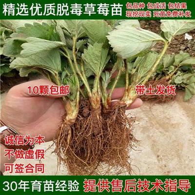 四季草莓苗  地栽苗 20~30公分 量多优惠 包邮 发货 质量保证