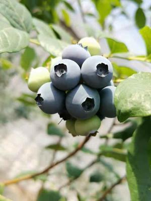辽宁省丹东市振安区薄雾蓝莓 12 - 14mm以上 鲜果