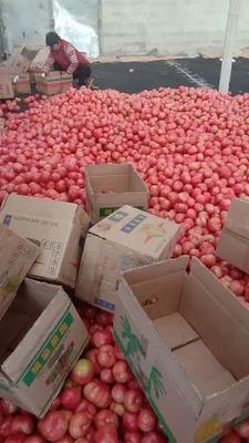 山东省临沂市费县硬粉番茄 通货 弧二以上 硬粉