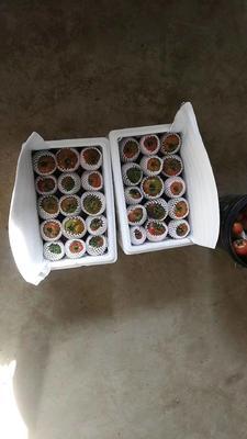 辽宁省盘锦市大洼县盐碱地西红柿 精品 弧二以上 硬粉