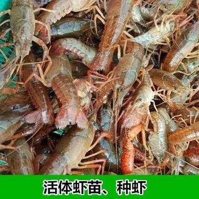 这是一张关于青虾苗 的产品图片