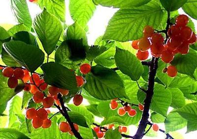 贵州省安顺市镇宁布依族苗族自治县甜樱桃 5-10mm 5-8g