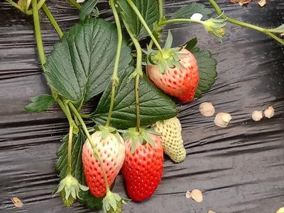 这是一张关于章姬草莓苗 10公分以下 穴盘苗 的产品图片