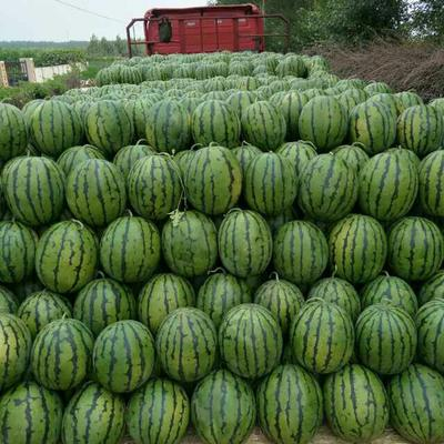 山东省潍坊市奎文区甜王西瓜 10斤打底 8成熟 1茬 有籽