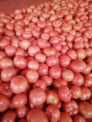 内蒙古自治区赤峰市松山区硬粉番茄 通货 弧三以上 硬粉
