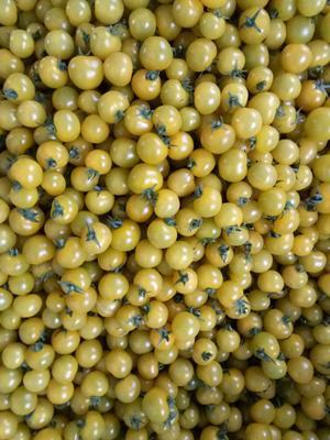 山东省潍坊市寿光市樱桃番茄 通货 弧一以下 硬黄