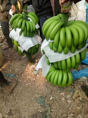 云南省西双版纳傣族自治州勐腊县巴西香蕉 七成熟