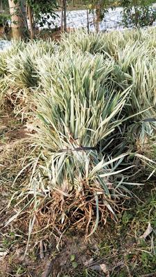 这是一张关于银边草  银边麦冬的产品图片