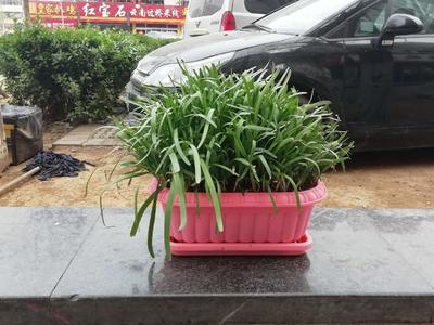 山东省济南市历下区韭黄盆景 头茬 20~30cm
