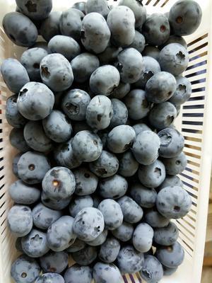 山东省青岛市黄岛区蓝丰蓝莓 15mm以上 鲜果