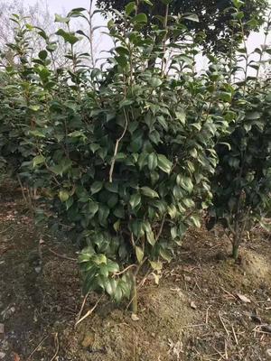 这是一张关于七芯茶花 140cm以上 的产品图片