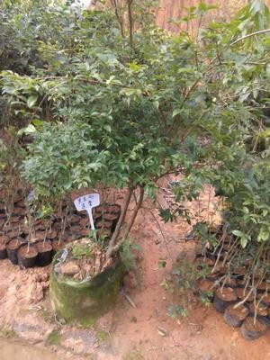 这是一张关于黑金刚莲雾苗 的产品图片